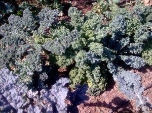 Copy of kale siberian_biodumbrava_2013
